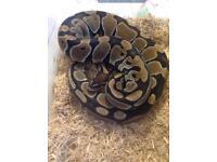 Royal Python Normal morph 16 months old