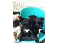 Kc reg puppys