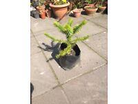 Araucaria Araucana ( monkey puzzle tree) 6ft