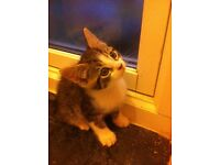 Kittens for sale ADORABLE tabbies