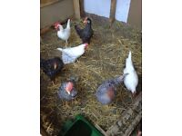 Young leghorns for sale