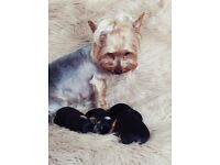 Yorkshire terrier boy for sale! Craigavon,N.Ireland. Ready to leave home. 07864522553