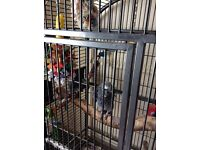 African grey with cage