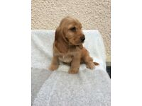Kc registered Cocker Spaniel puppies