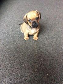 Gorgeous little Pug/Dashund puppies