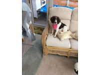 Springer spaniel liver and white gorgeous little girl