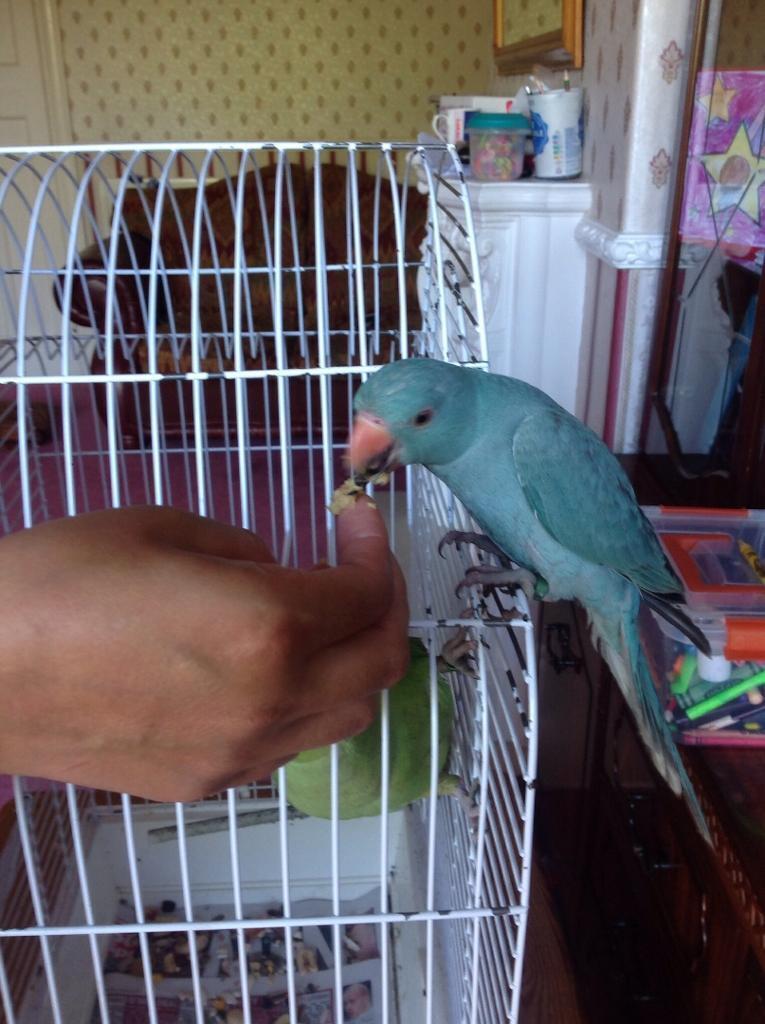 Ringneck Parrot For Sale uk Green Indian Ringneck Parrots For Sale Fully Hand Tame And Hand Reared