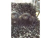 Teddy bear puppys 1 girl left