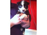 KC Chocolate and White Border Collie Puppies