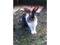 2x Rabbits 3 Months Old rabbit