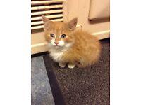 2 ginger & white kittens for sale