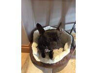 2 year old French bulldog bitch