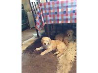 Golden doodle pups for sale - 3 stunning girls ready now