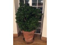 Very Large and Healthy Money Plant