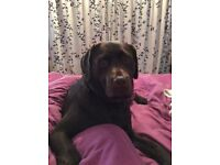 KC Registered Chocolate Labrador pups