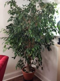 Indoor ficus plant, approximate 8ft high excellent healthy condition