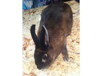 black female bunny rabbit