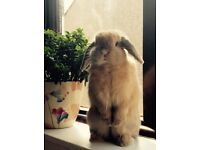 Gorgeous mini lop looking for a new (temporary) home
