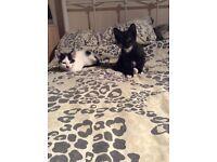 2 Lovely Boy Kittens Grays Essex
