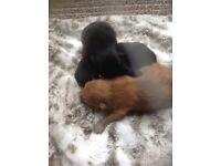 3 male teacup Pomeranian puppies due to go end April.