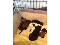 Border Terrier x Jack Russell puppies