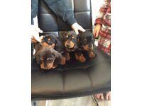 Dachaund puppy's can deliver
