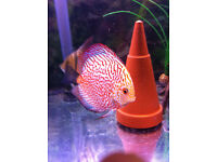 discus red pigeon and tiger turks