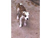 12 weeks old bulldog