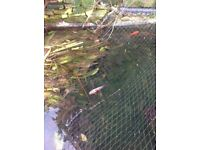 Pond fish require good home