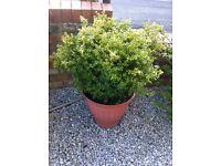 Box shrub in pot