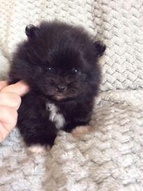 Pomeranian boys