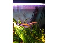 Two Madagascar rainbow tropical fish