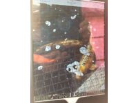 """I Have 4 Koi Carp all about 20"""" upto about 30""""."""