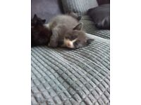 1 grey and white kitten and 1 black and white kitten
