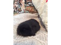 Baby Mini Lion Lop Rabbits
