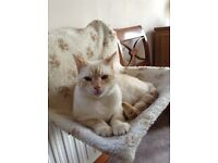 Tonkinese Can the lady from Bury St Edmunds who wanted Ollie please contact me