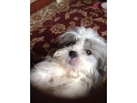A 7month old Lhapsa apso boy . Lovely colour grey and white.