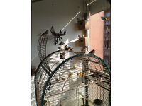 Birds zebra finches all colours male and female can deliver local