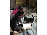 JACKAHUAHUA puppies 1 boy 1 girl ... Ready now !