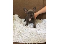 7 KC Reg blue French Bulldog Puppies for sale (prices vary)