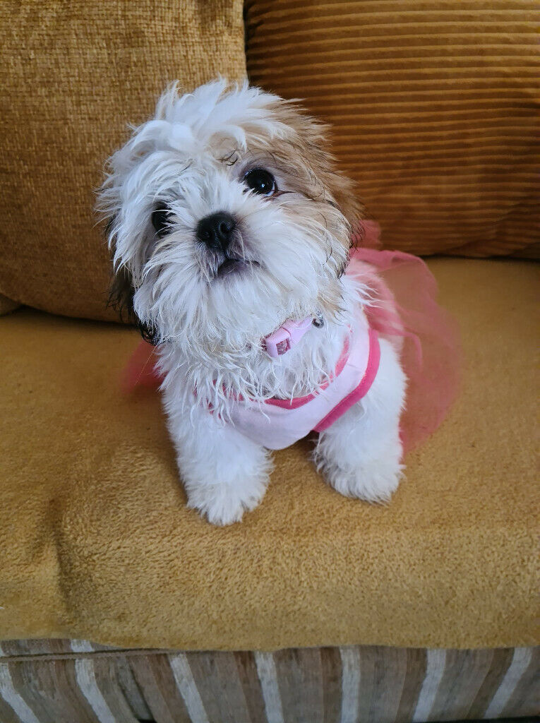 10 Week Old Shih Tzu Girl