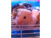 8 week old hamsters