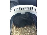 Rabbit for sale with hutch