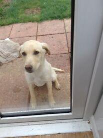 Kc reg Labrador yellow puppy 7 months old