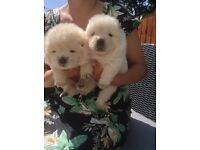 GORGEOUS CREAM AND WHITE CHOW CHOW PUPPIES!