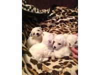 Beautiful Bichon pups UPDATE ONLY 4 WEE BOYS LEFT !