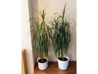 2 Large Indoor Plants