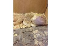 Male Bearded Dragon Rehome