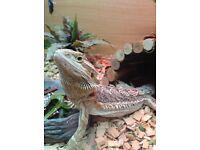 Adult male bearded dragon