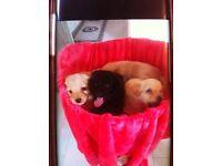 Patter dale cross poodle pups